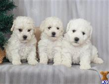 bichon frise puppy posted by morganowens243