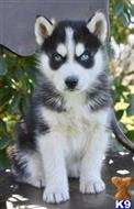 siberian husky puppy posted by morganowens243