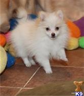 pomeranian puppy posted by morggren1