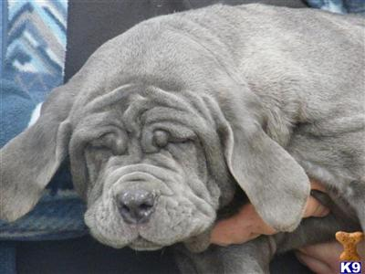 Neapolitan Mastiff Puppies on Neapolitan Mastiff Puppies Now Reduced In Price Neapolitan Mastiff