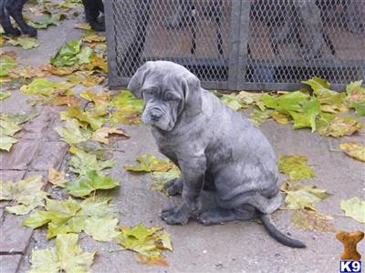 Neapolitan Mastiff Puppy for Sale in United Kingdom
