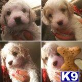 bichon frise puppy posted by mr21711