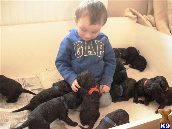 black goldendoodle puppies. GOLDENDOODLES - BLACK YES