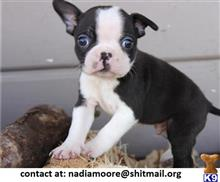 boston terrier puppy posted by nadiamoore
