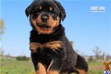 rottweiler puppy posted by nasinemalinsae4
