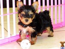 yorkshire terrier puppy posted by nbco0y6