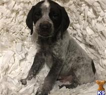 german shorthaired pointer puppy posted by nebalox1310