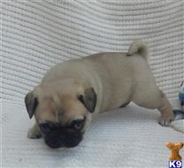 pug puppy posted by Nicky1976
