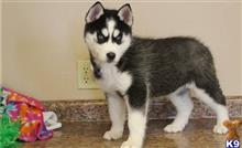 siberian husky puppy posted by nigelcarter