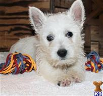 west highland white terrier puppy posted by nigelcarter4