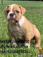 old english bulldog puppy posted by nitico2100