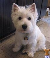 west highland white terrier puppy posted by nkahafor