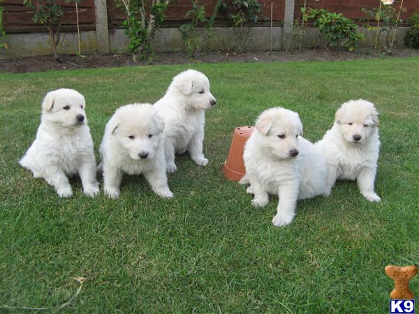 white german shepherd puppies for sale white german shepherd puppies kc registered 20601 6116
