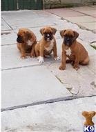 boxer puppy posted by oexkmebv