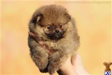 pomeranian puppy posted by oglasi