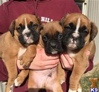 boxer puppy posted by oinrmt