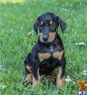 doberman pinscher puppy posted by ojocliff12