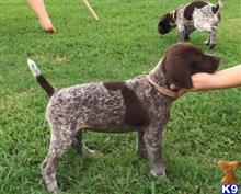 german shorthaired pointer puppy posted by ojocliff22