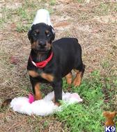 doberman pinscher puppy posted by ojocliff63