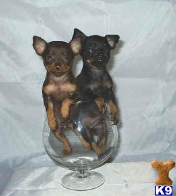 Terrier Puppies on Samara  Russia Rat Terrier Puppies