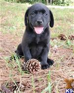labrador retriever puppy posted by olivemitchell