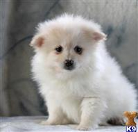 pomeranian puppy posted by olmcyco