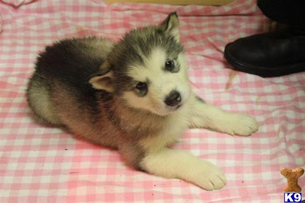 orkneymalamutes Picture 1