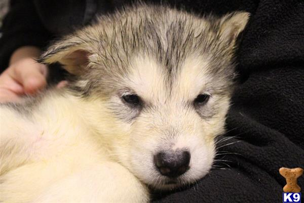 orkneymalamutes Picture 2