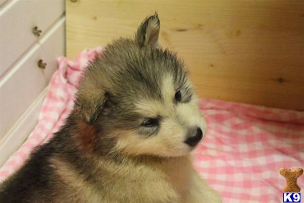 orkneymalamutes Picture 3