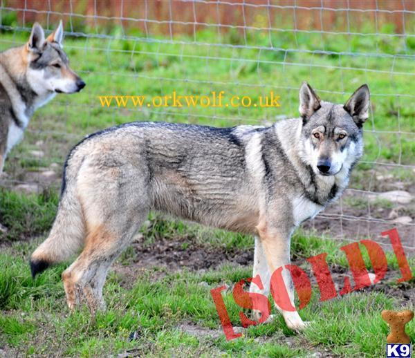 Timber WOLF HYBRID PUPS WWW.ORKWOLF.CO.UK