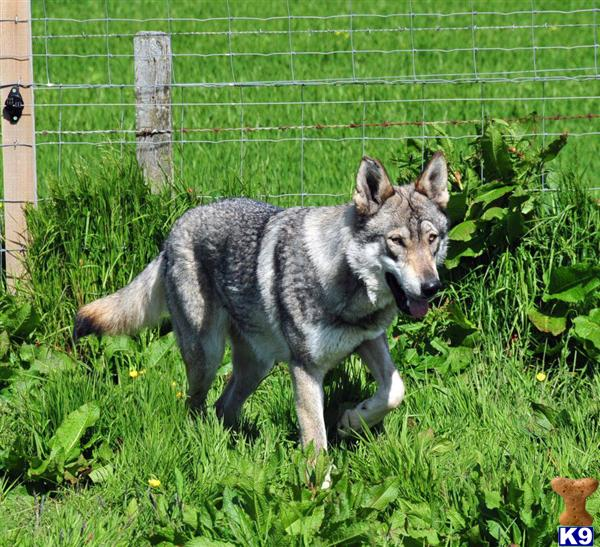 Timber Wolf Hybrid wolfdog pups www.orkwolf.co.uk 18540