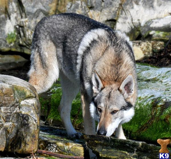 orkwolf Picture 3