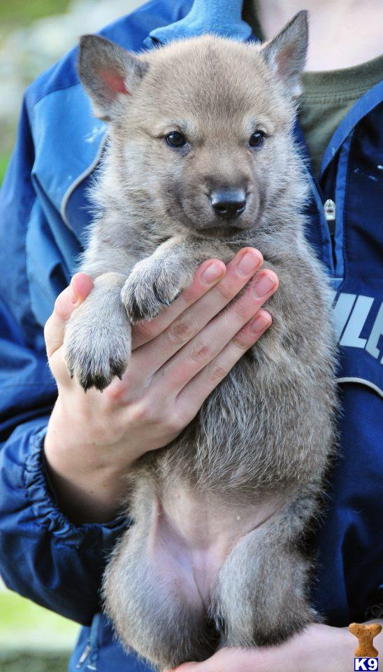Newborn wolf pups nursing