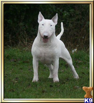 Bull Terrier Puppies on Bull Terrier Puppies For Sale