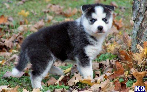 Hand Raise Blue Eyes Siberian Husky Puppies Availa 26053