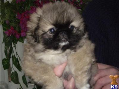 Pekingese Puppies on Pekingese Puppies For Sale