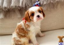 cavalier king charles spaniel puppy posted by parksung45
