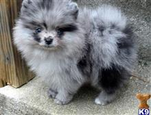 pomeranian puppy posted by parksung491