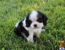 cavalier king charles spaniel puppy posted by parksung4910