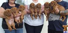 dogue de bordeaux puppy posted by parsonskylie