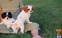king charles spaniel puppy posted by paulalkins