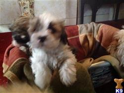 lhasa apso puppy posted by paullancs6