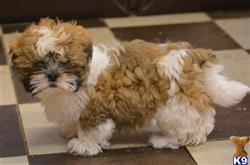shih tzu puppy posted by penny1234