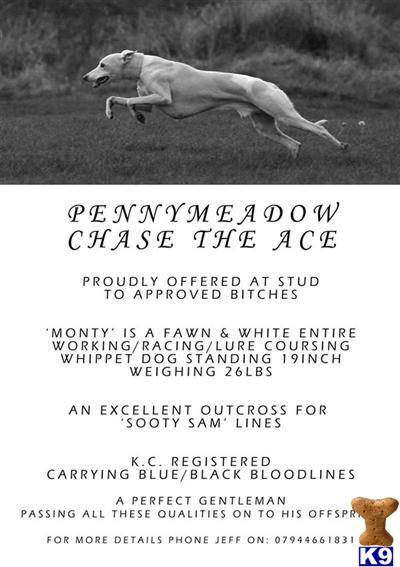 Pennymeadow Whippets Picture 3