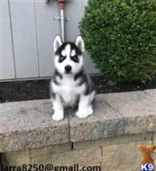 siberian husky puppy posted by pepapan731