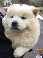 chow chow puppy posted by peterboris1