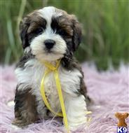 lhasa apso puppy posted by peterdarxy