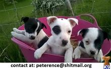 jack russell terrier puppy posted by peterence