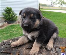 german shepherd puppy posted by piciw79711