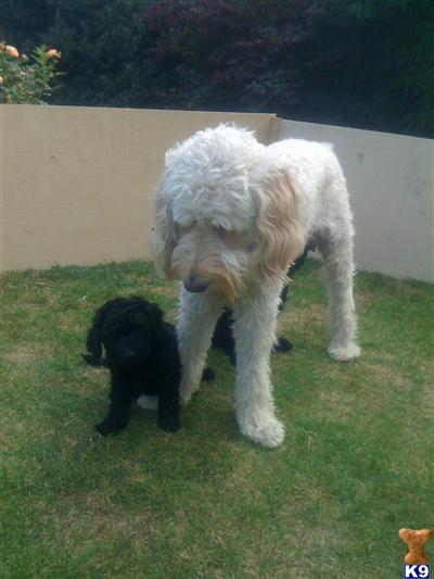 black goldendoodle pictures. BLACK GOLDEN DOODLE F1B